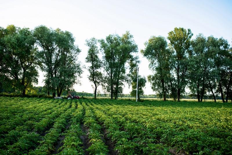 Da sie ein tropisches bis warmes Klima braucht, sind die europäischen Anbaugebiete vor allem in Italien und auf der iberischen Halbinsel zu finden.(#03)