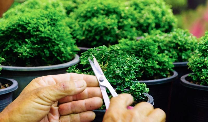 Die Blätter werden mit einer Bonsaischere geschnitten.