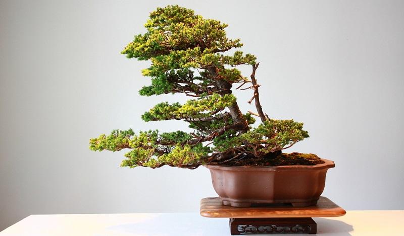 Ein Bonsai Substrat - gemischt aus Substrat und Humus. Ist der richtige Boden für den Bonsai.