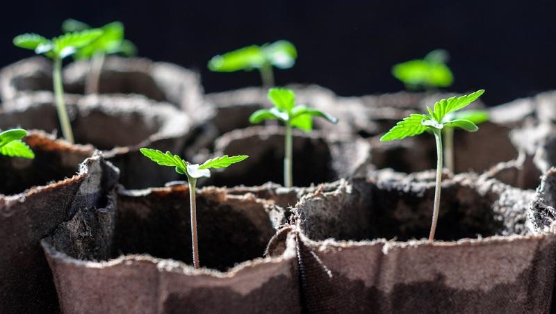 Der Hanfanbau wird sich in den kommenden Jahren vermutlich von selbst revolutionieren.