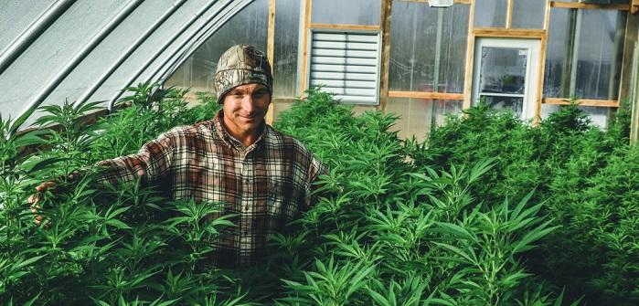 Hanfpflanze: Unterschiede, Erntezeit & mehr