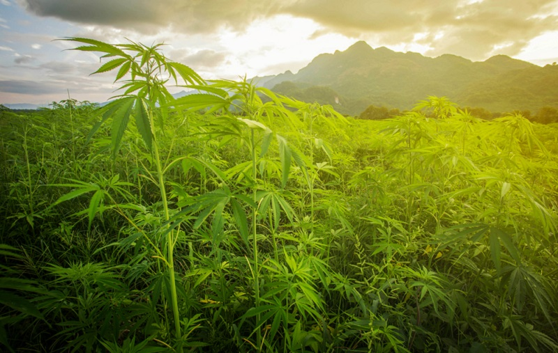 Hanföl: Mehr als 40 Hanfsorten dürfen legal angebaut werden. (#01)