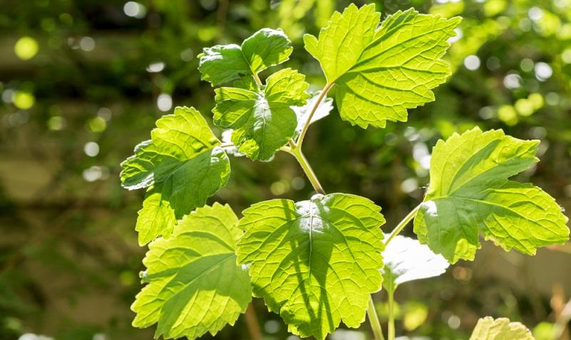 Der Geruch der Patschuli Pflanze hilft gegen die Lebensmittelmotte, denn diesen mag sie gar nicht.