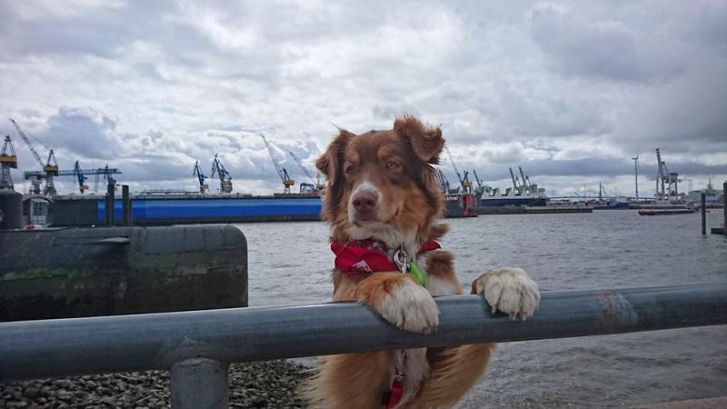 Obwohl nicht jede Großstadt besonders gut für die Hundehaltung geeignet ist, ist Hamburg für Hunde durchaus ein schönes Zuhause.