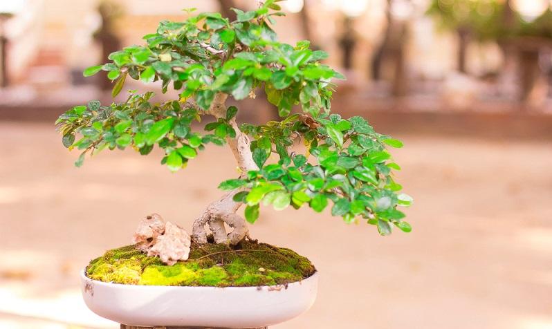 Bonsai richtig schneiden und pflegen. Fehler vermeiden, damit das kleine Kunstwerk gedeihen kann.