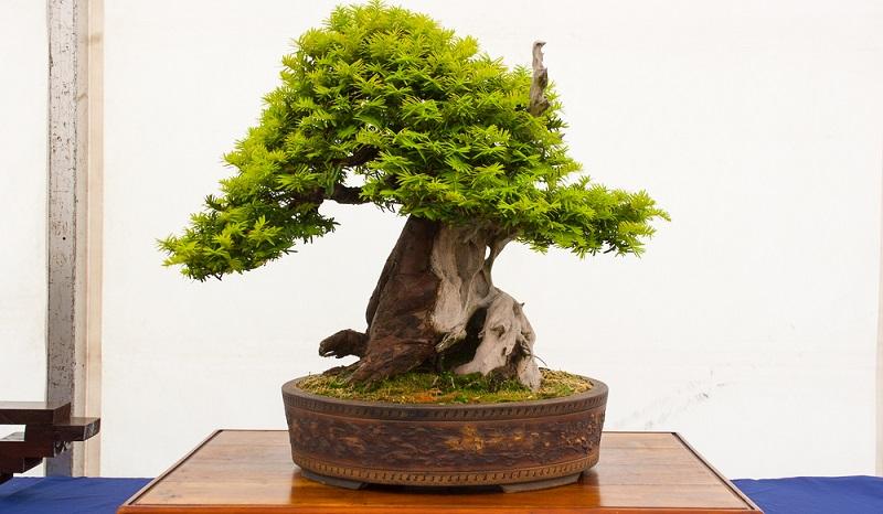 Ein Bonsai, der aus einer Eibe gestaltet wurde, sollte mit der Pinzette in Form gebracht werden. So bleiben Äste und Nadeln schön grün.