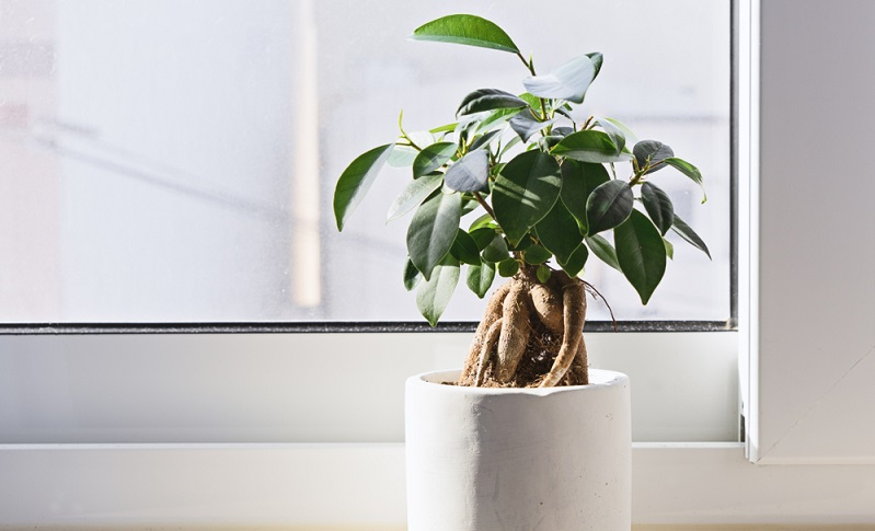 Dieser Zimmerpflanzen Bonsai hat viel zu große Blätter für den Stamm. Der Blattschnitt wurde nicht durchgeführt und das führt zu einer optischen Disharmonie.