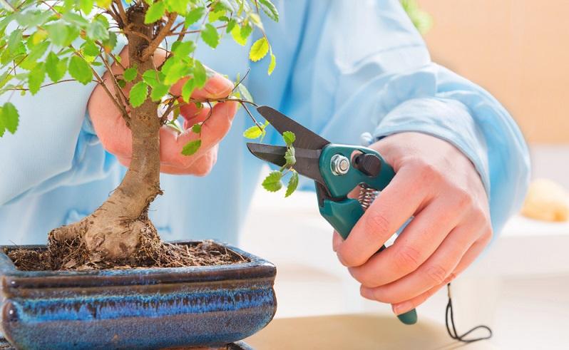 Eine Gartenschere ist viel zu breit, um den Bonsai sauber zu schneiden. Besser gleich spezielle Bonsai-Scheren verwenden.
