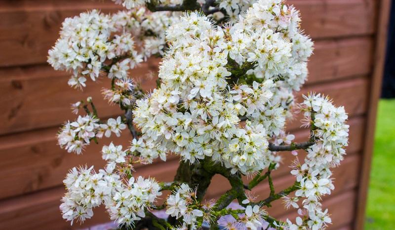 Blühende Laubbäume sind für den Blattschnitt ungeeignet.